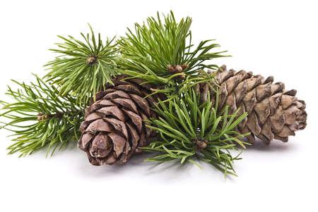 pine cone: Siberian pigna con il ramo
