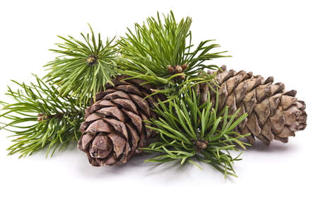 Siberian pine cone with branch Stock Photo
