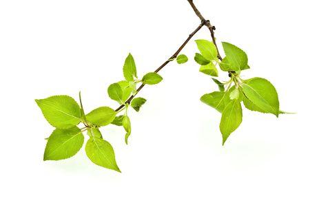 apfelbaum: Branch Apfelbaum mit Fr�hlingsknospen isolated on white Lizenzfreie Bilder