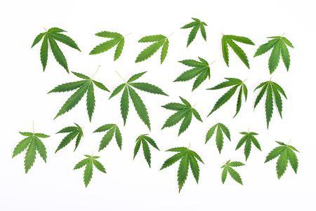 Cannabis leafs photo