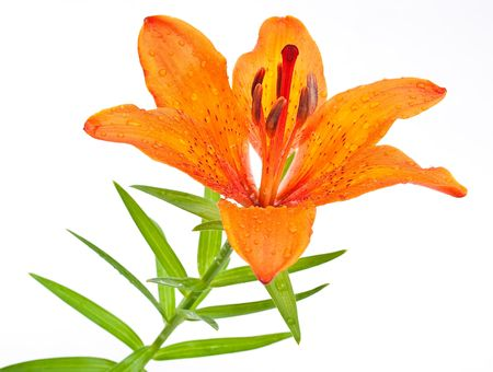 tiger lily: Tiger lily  Stock Photo