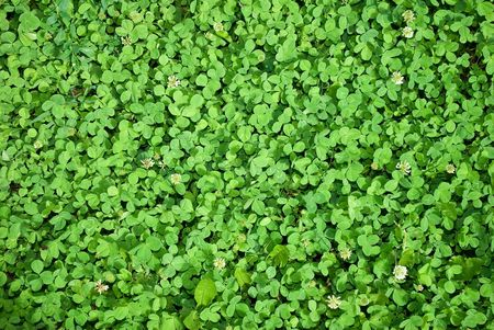 Clover background Stock Photo - 7422553