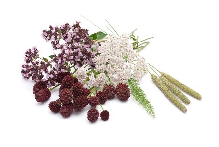 sanguisorba: Herbal medicine  Stock Photo
