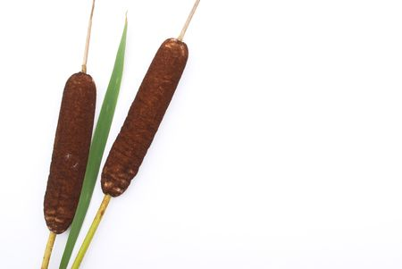 cattails: Cattails