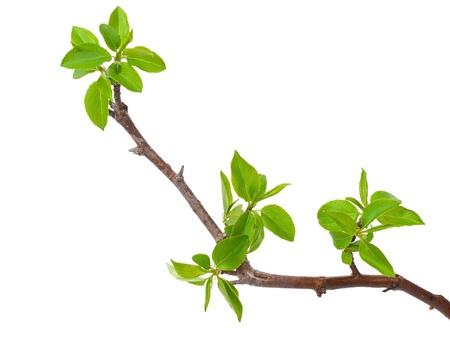 支店: 春の芽を白で隔離される支店りんごの木
