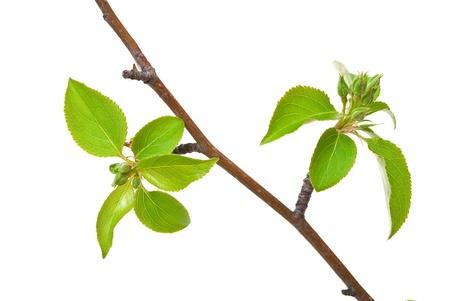 Pommier branche avec bourgeons de printemps isolé sur fond blanc  Banque d'images - 9500511