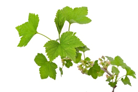 Young green sprout of currant  photo