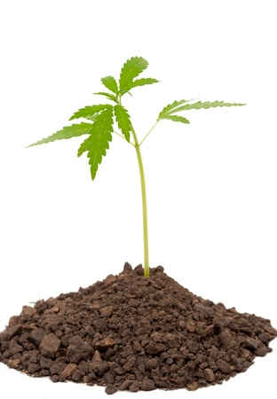 Marijuana plant  Stock Photo