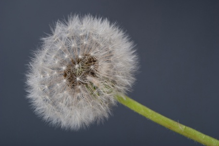 dandelion seed: Dandelion seed head