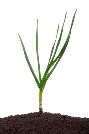 Garlic in the soil photo