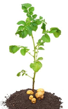 plantas del desierto: Patata del brote