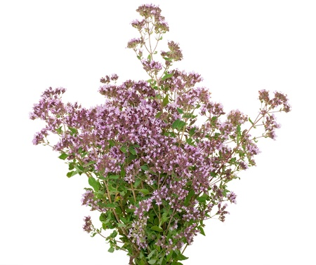 Herbal medicine:Thyme  Stock Photo - 10414031