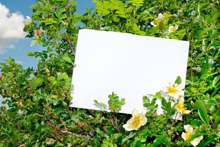 briar bush: Briar bush with blank paper  Stock Photo