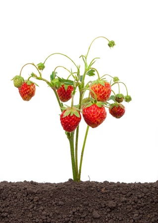 Strawberry growing out of the soil Stock Photo - 10414026
