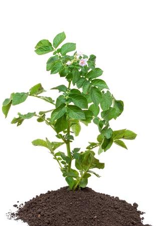 plantas del desierto: Papa brotan Foto de archivo