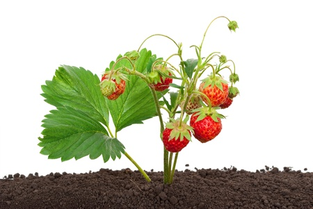 wild botany: Strawberry growing out of the soil  Stock Photo
