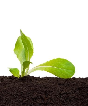 Lettuce seedling in soil  Stock Photo