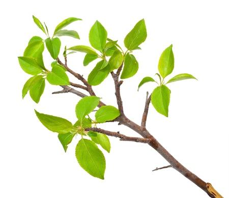 Tak appelboom met veer knoppen op wit wordt geïsoleerd