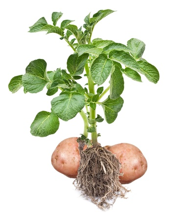 Potato sprout  Stock Photo