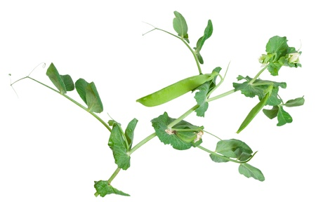 sweet pea flower: Branches of green pea on white background