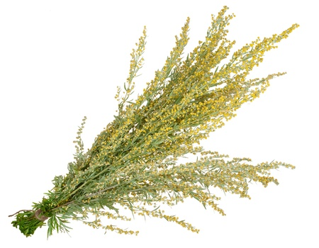 medicinal plant: Medicinal plant. Sagebrush