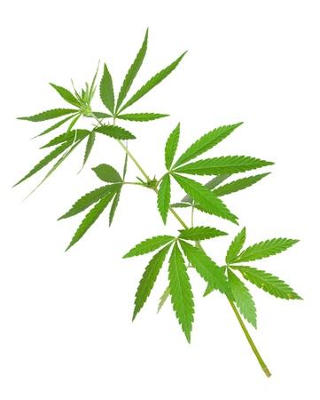 Cannabis plant photo
