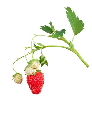 Strawberry bush photo