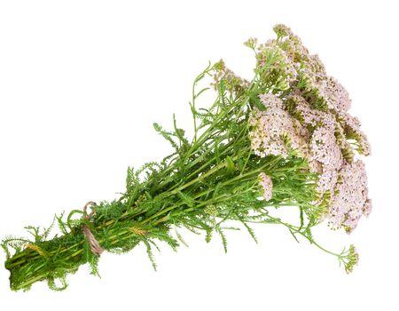 milfoil: Medicinal plant. Milfoil