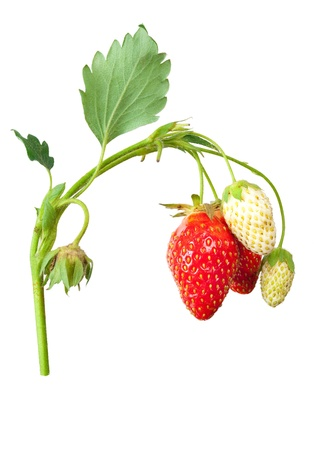 Strawberry bush photo