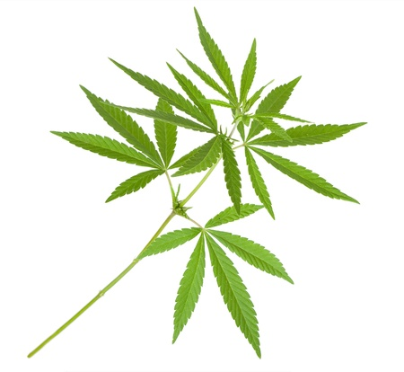 medicinal marijuana: Cannabis plant