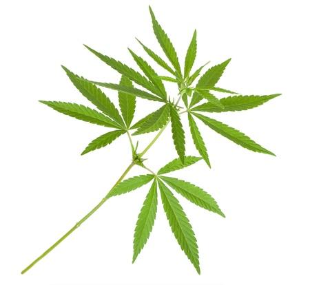 marihuana leaf: Planta Cannabis