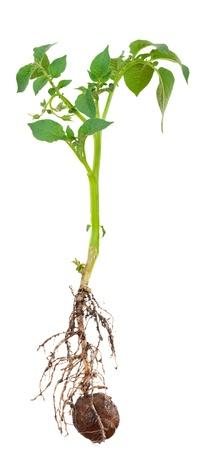 germinación: Potato brotan de la raíz Foto de archivo