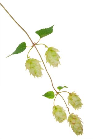 common hop: Branch of hops