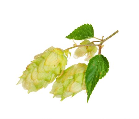 lupulus: Branch of hops