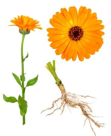 marigold: Medicinal plant. Calendula