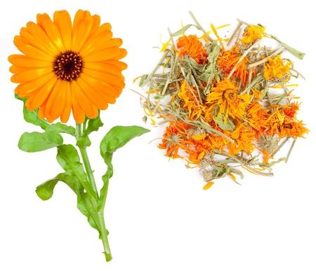 Medicinal plant. Calendula