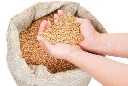 gunny bag: Wheat grain in hands