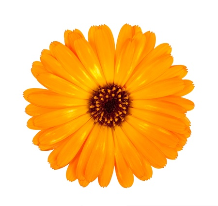 Flower of calendula photo