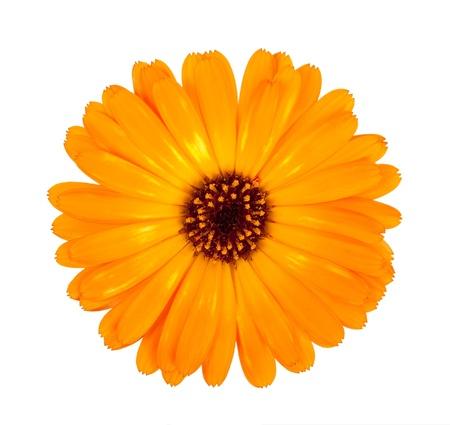 Flower of calendula photo