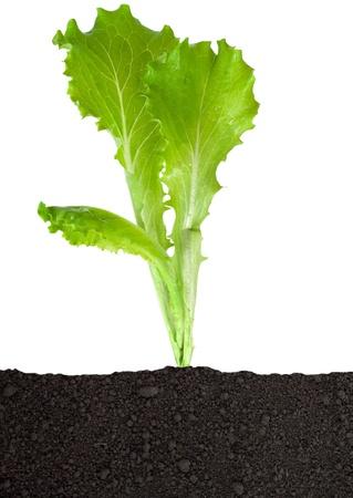 Lettuce seedling in soil Stock Photo - 14990343