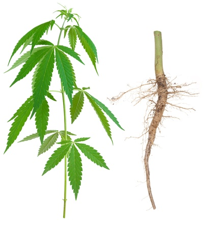 Cannabis with a root Stock Photo - 15058306
