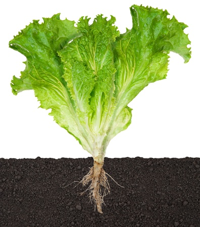 Lettuce seedling in soil photo