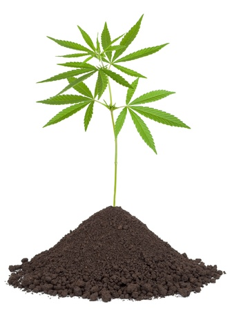 Cannabis plant in soil photo