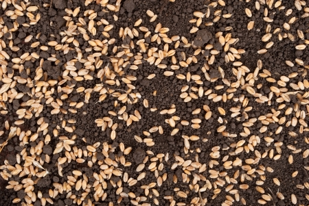 Wheat grain on the soil