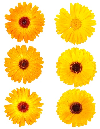 Set of calendula flowers