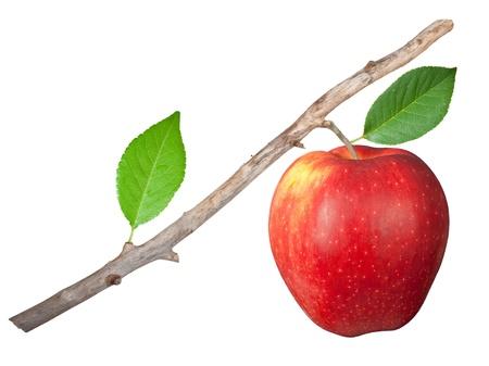 apfelbaum: Trockenen Ast mit Apfel Lizenzfreie Bilder