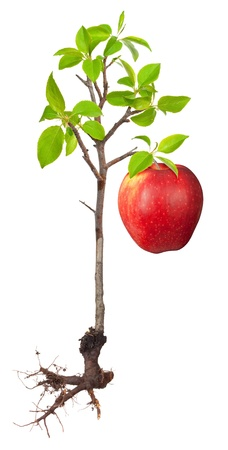 tall tree: Apple tree with a root Stock Photo