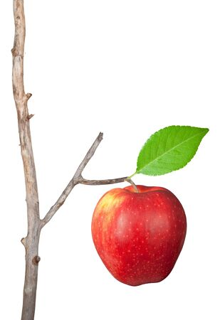 Dry branch with apple photo