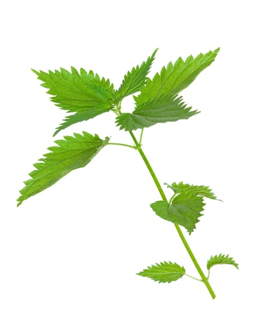 medicinal plant: Medicinal plant. Nettle