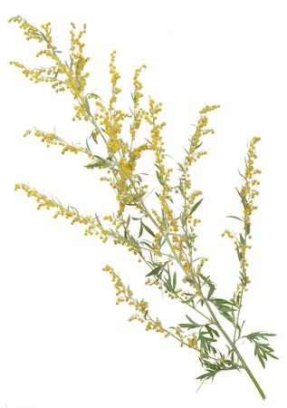 ajenjo: Planta medicinal. Artemisa Foto de archivo